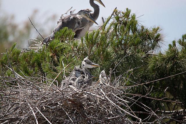 20110530 4316RTw [F] Graureiher, Parc Ornithologique [Camargue]