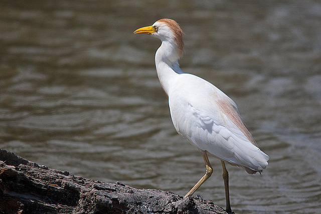 20110530 4314RTw [F] Kuhreiher (Bubulcus ibis), Parc Ornithologique [Camargue]