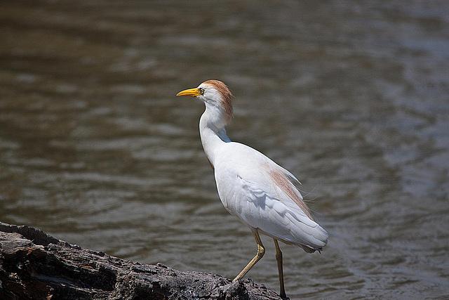 20110530 4313RTw [F] Kuhreiher (Bubulcus ibis), Parc Ornithologique [Camargue]
