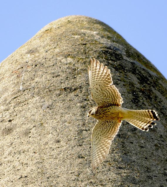 Falke von der Schaafheimer Warte im Abflug