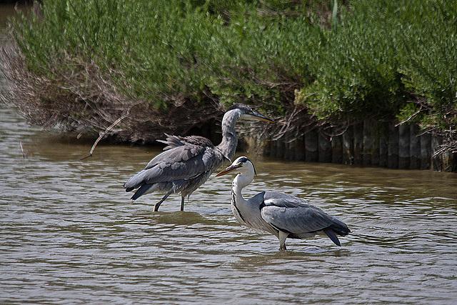 20110530 4311RTw [F] Graureiher (Ardea cinerea), Parc Ornithologique [Camargue]
