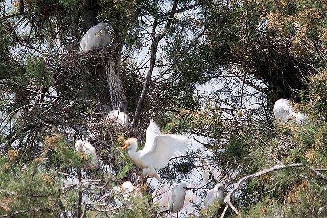 20110530 4306RTw [F] Kuhreiher (Bubulcus ibis), Seidenreiher (Egretta garzetta), [Camargue]