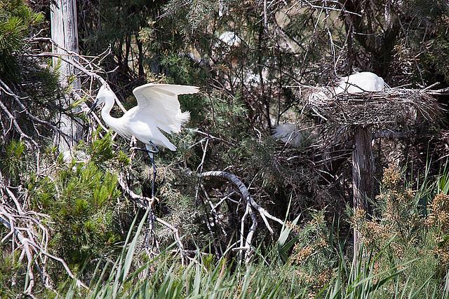 20110530 4305RTw [F] Seidenreiher (Egretta garzetta), Parc Ornithologique [Camargue]