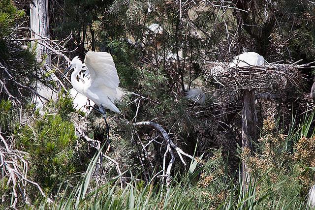 20110530 4304RTw [F] Seidenreiher (Egretta garzetta), Parc Ornithologique [Camargue]