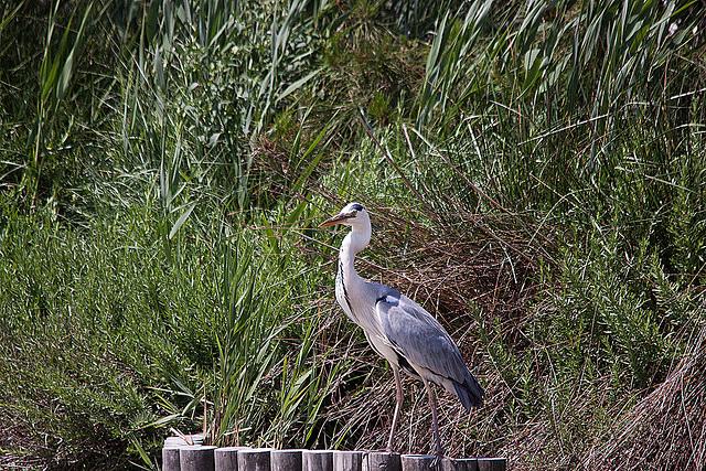 20110530 4303RTw [F] Graureiher (Ardea cinerea), Parc Ornithologique [Camargue]