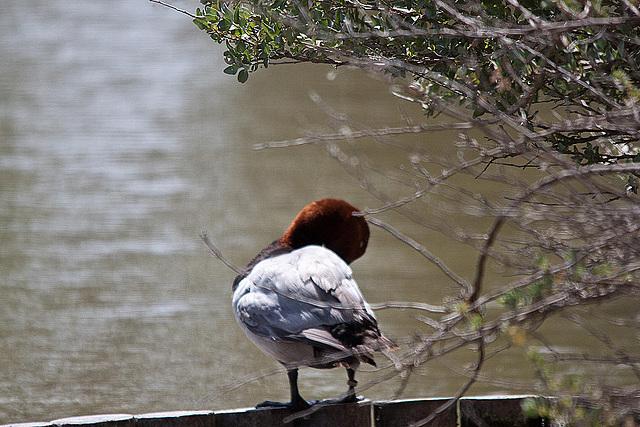 20110530 4302RTw [F] Tafelente (Aythya ferina), Parc Ornithologique [Camargue]