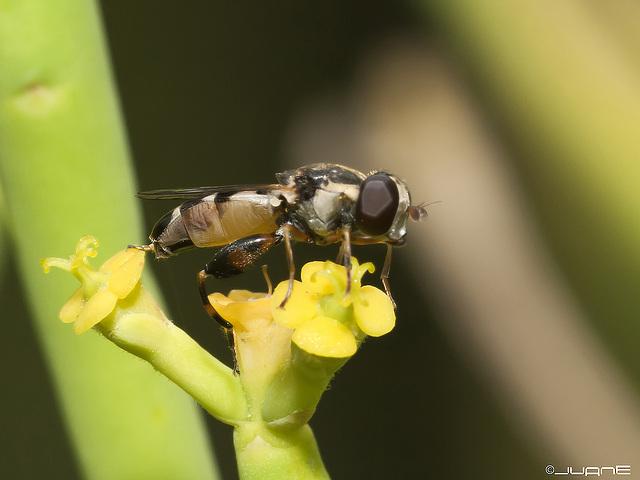 Syritta pipiens (♂) Syrphidae