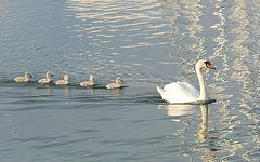 Famille Cygne