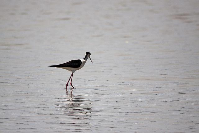 20110530 4300RTw [R~F] Stelzenläufer (Himantopus himantopus), Parc Ornithologique, [Camargue]
