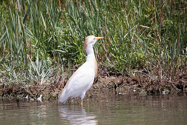 20110530 4298RTw [F] Kuhreiher (Bubulcus ibis), [Camargue]