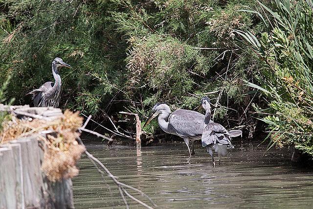 20110530 4290RTw [F] Graureiher (Ardea cinerea), Parc Ornithologique [Camargue]