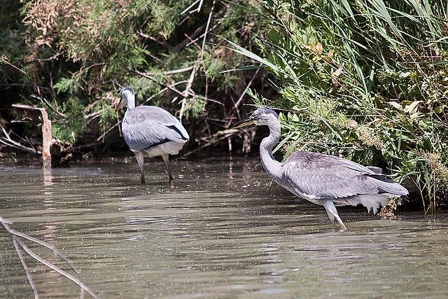 20110530 4288RTw [F] Graureiher (Ardea cinerea), Parc Ornithologique [Camargue]