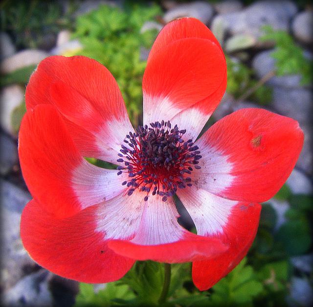 j'irai cueillir la fleur d'Esméralda