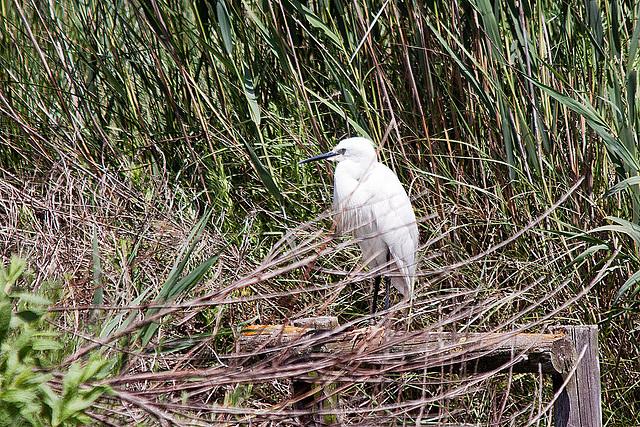 20110530 4284RTw [F] Seidenreiher (Egretta garzetta), Parc Ornithologique [Camargue]