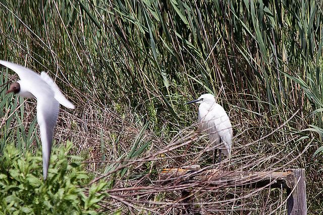 20110530 4283RTw [F] Lachmöwe (Chroicocephalus ridibundus), Seidenreiher (Egretta garzetta), Parc Ornithologique [Camargue]