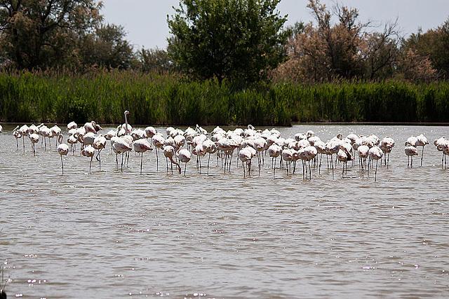 20110530 4282RTw [F] Flamingo [Camargue]