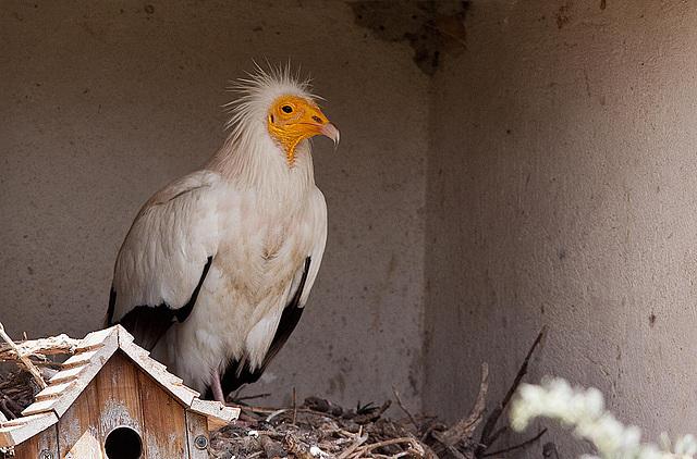 20110530 4281RTw [F] Schmutzgeier (Neophron percnopterus), Parc Ornithologique, [Camargue]
