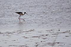 20110530 4278RTw [F] Stelzenläufer (Himantopus himantopus), Parc Ornithologique, [Camargue]