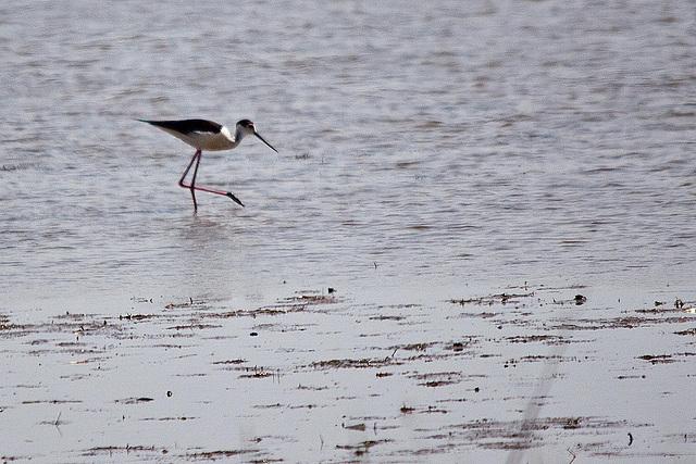 20110530 4278RTw [R~F] Stelzenläufer (Himantopus himantopus), Parc Ornithologique, [Camargue]