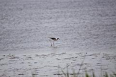 20110530 4277RTw [F] Stelzenläufer (Himantopus himantopus), Parc Ornithologique, [Camargue]