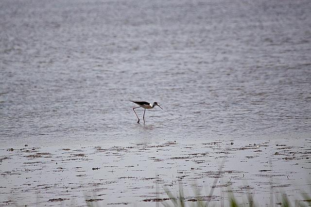 20110530 4277RTw [R~F] Stelzenläufer (Himantopus himantopus), Parc Ornithologique, [Camargue]