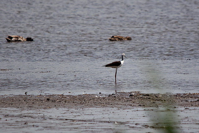 20110530 4275RTw [R~F] Stelzenläufer (Himantopus himantopus), Ente, Parc Ornithologique, [Camargue]