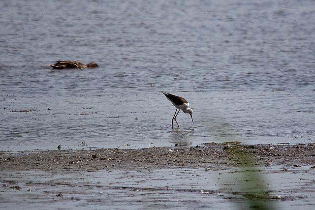 20110530 4274RTw [R~F] Stelzenläufer (Himantopus himantopus), Ente, Parc Ornithologique, [Camargue]