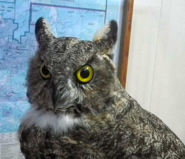 Great Horned Owl at Upper Tram Station (0034)