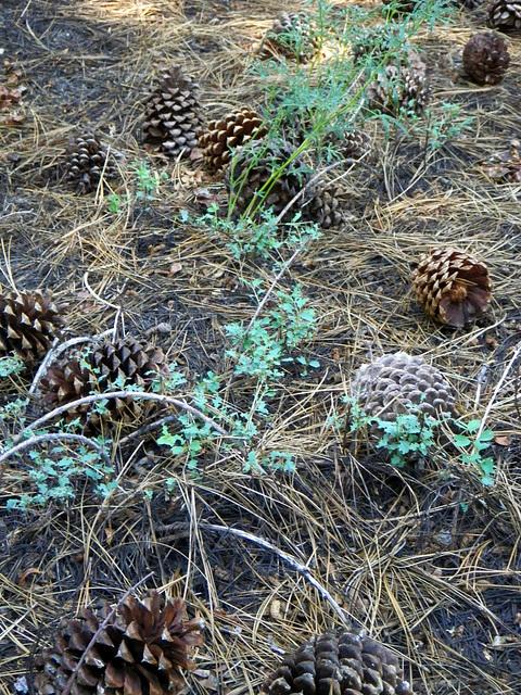 Pine cone field (0042)