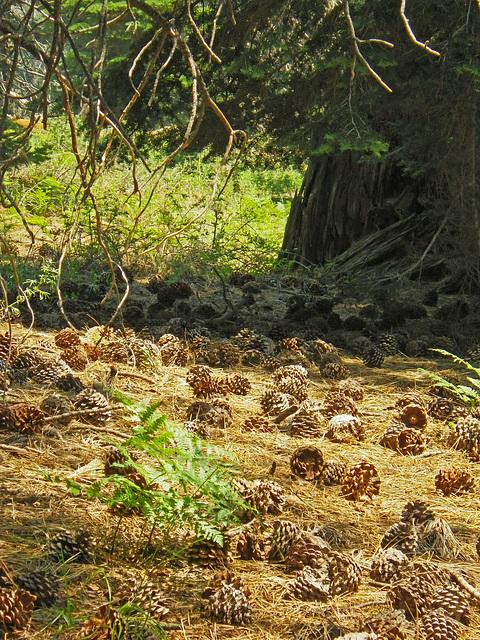 Pine Cone Field (0044)
