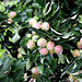 Äpfel - reichliche Ernte wird erwartet