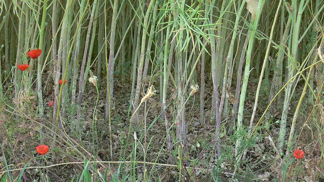 wie Bambusstangen