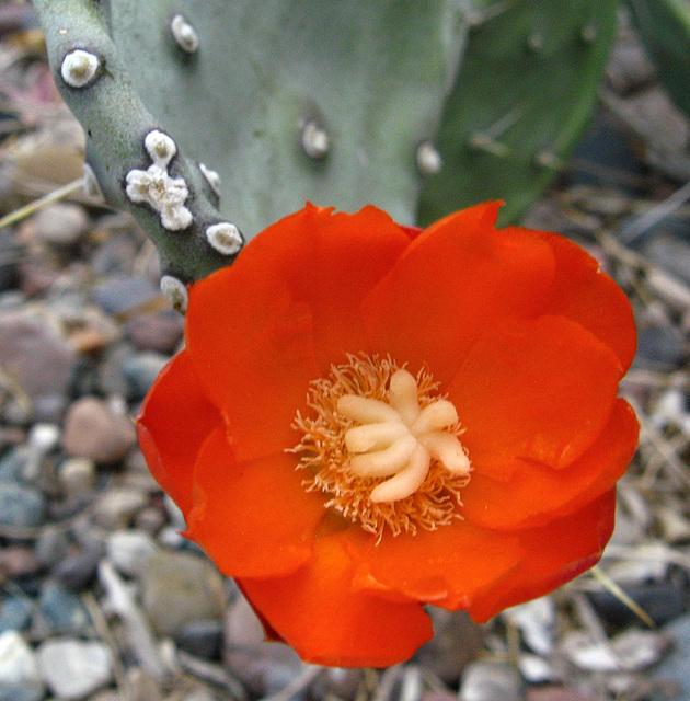 Red Cactus Flower (1870)