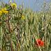Wildblumen im Kornfeld