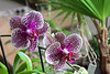 Phalaenopsis Hi-Sin