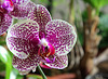 Phalaenopsis Hi-Sin 2