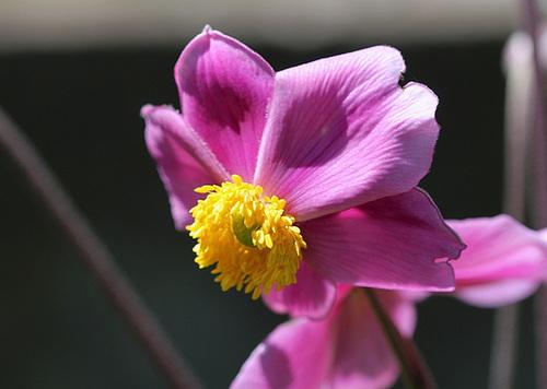 Anémone du Japon