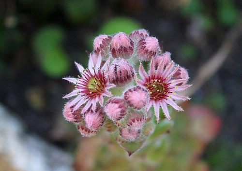 fleurs de Joubarde