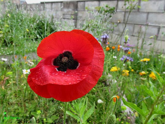 01 red poppy