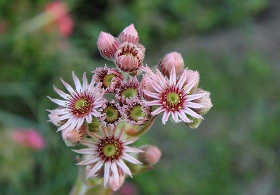 Joubarde -Sempervivum - trouvé par Chiru-Mayou- patagain