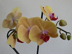 Orchideenblüten gelb-rosé