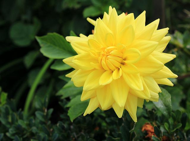 Und noch einmal Gelb.....Dahlie