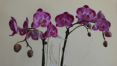 Orchideenblüten lila-violett