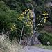 20110531 4732RAfw Fenchel [Cirque de Navacelles]