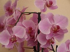 Orchideenblüten in rosé