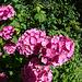 20140704 3834VRFw [D~LIP] Hortensie, UWZ, Bad Salzuflen