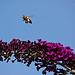 20110725 6331RTw [D~LIP] Honigbiene, Bad Salzuflen