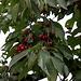 Kirschen für Pandarine