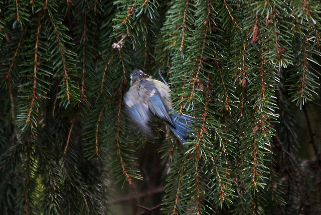 20110725 6322RTw Blaumeise (Cyanistes caeruleus)