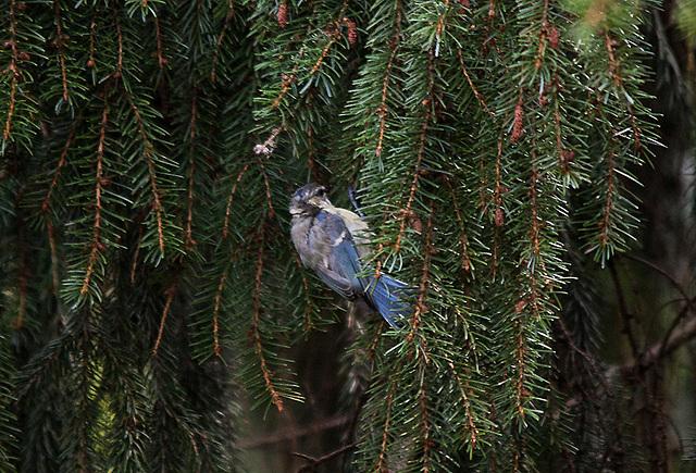 20110725 6321RTw Blaumeise (Cyanistes caeruleus)